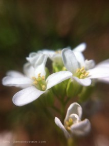 Georgia Rockcress