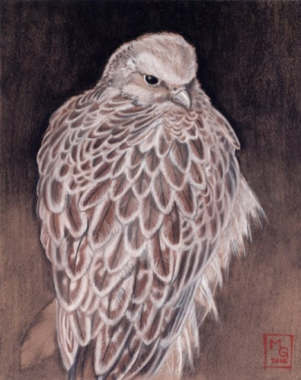 Gyrfalcon by Melissa Gay