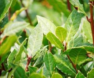 Magical Metaphysical Healing Properties of Trees - Bay Laurel