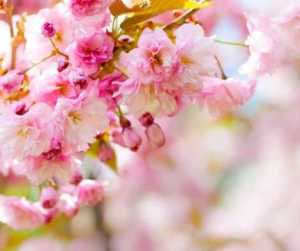 Magical Metaphysical Healing Properties of Trees - Cherry
