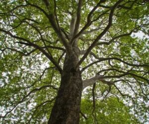 Magical Metaphysical Healing Properties of Trees - Elm
