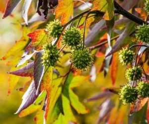 Magical Metaphysical Healing Properties of Trees - Sweet Gum