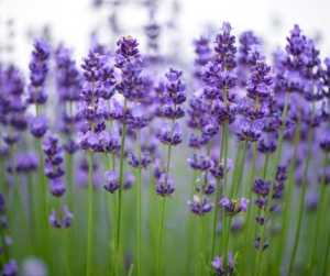 Love Magic Spells Rituals Flowers Lavender