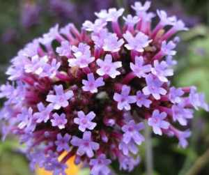 Love Magic Spells Rituals Flowers Vervain