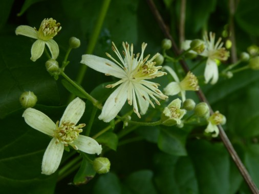 A picture of white clematis vitalba flowers against the intense green of the hedgerow