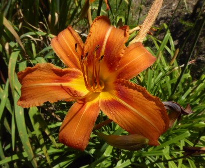 picture of a striking orange day lily