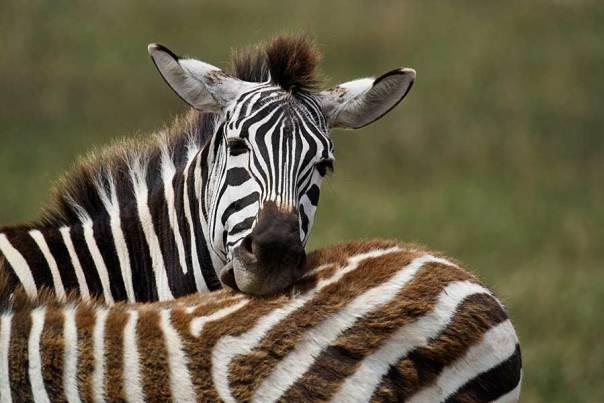 Fotoreise_Fotosafari_Fotoworkshop_Benny-Rebel_Afrika_Tansania_025_Zebra