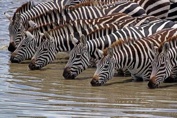 Fotoreise_Fotosafari_Fotoworkshop_Benny-Rebel_Afrika_Tansania_031_Zebra