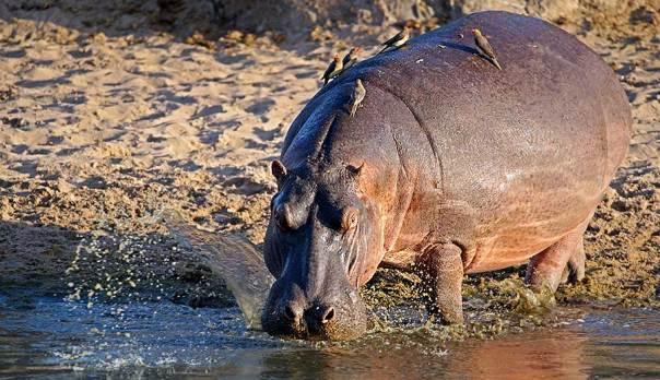 Fotoreise_Fotosafari_Fotoworkshop_Benny-Rebel_Afrika_Tansania_039_Flusspferd