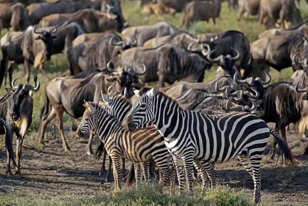 Fotoreise_Fotosafari_Fotoworkshop_Benny-Rebel_Afrika_Tansania_090_Zebra