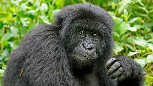 Fotoreise_Fotosafari_Fotoworkshop_Benny-Rebel_Afrika_Z-Ruanda_067_Gorilla