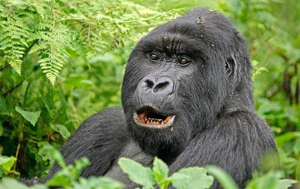 Fotoreise_Fotosafari_Fotoworkshop_Benny-Rebel_Afrika_Z-Ruanda_069_Gorilla