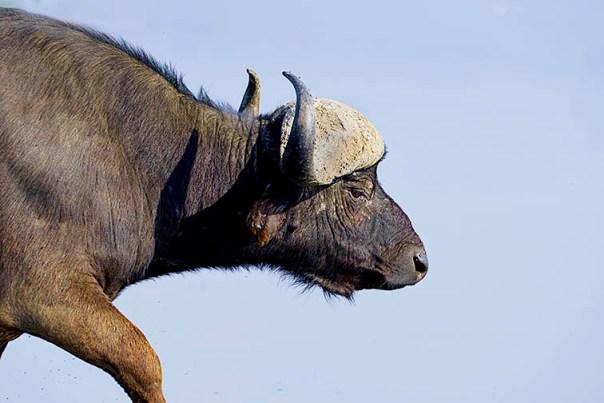 Bueffel-Lake-Nakuru-Fotoreise-Fotosafari_Afrika_DSC4702