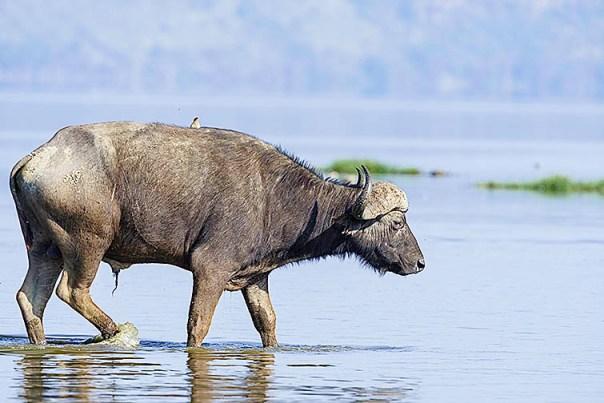 Bueffel-Lake-Nakuru-Fotoreise-Fotosafari_Afrika_DSC4803