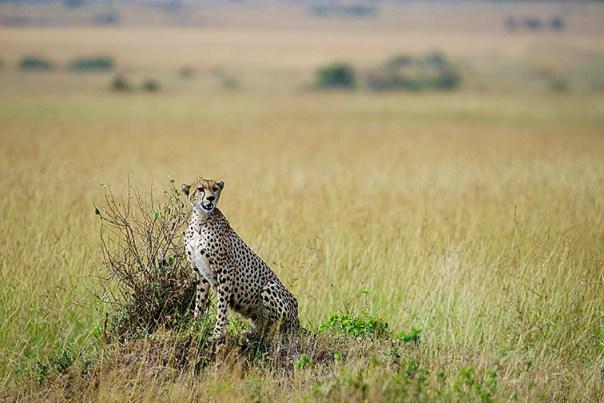 Gepard-Masai-Mara-Fotoreise-Fotosafari_Kenia_DSC5460