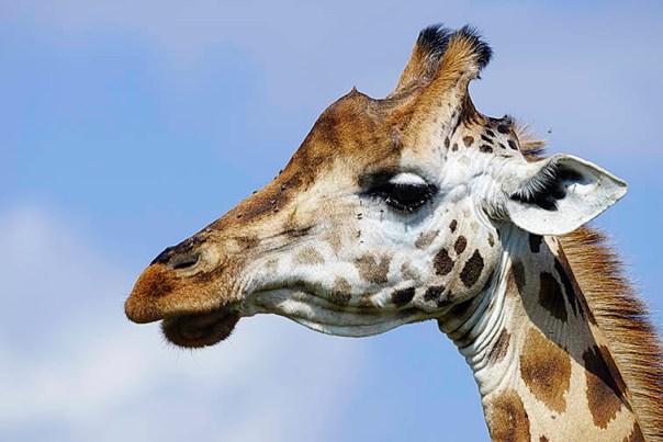 Giraffe-Lake-Nakuru-Fotoreise-Fotosafari_Afrika_DSC4976