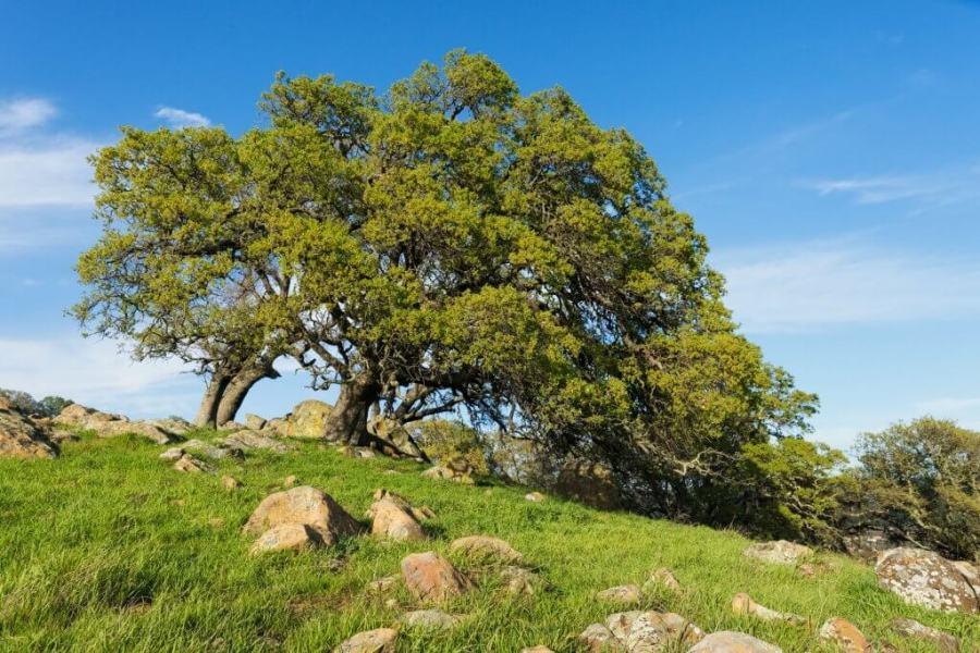 oaks-in-spring_1529