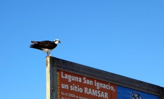 aigle pêcheur lagune San Ignacio