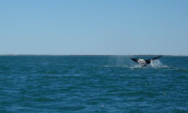 queue de baleine grise San ignacio