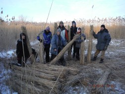 Harvesting reed (Phragmites Communis) in local field.