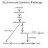 hormone cascade 2