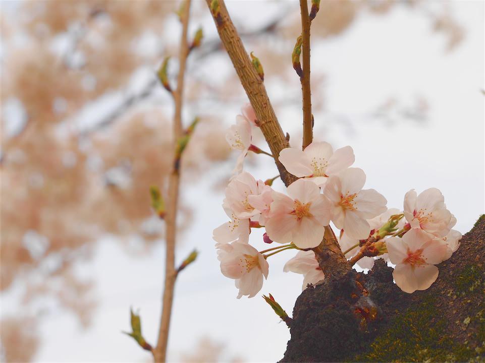 今日の一枚[22] -桜-