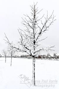 Tree Line in Snow