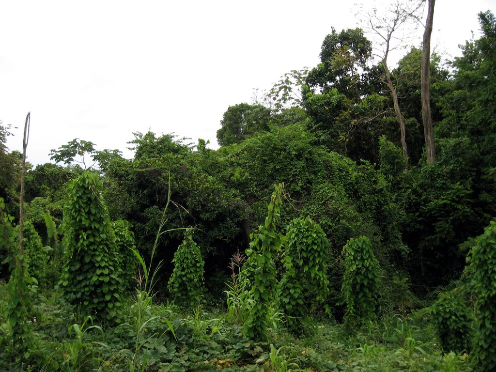 JamaicanRainforest.jpg