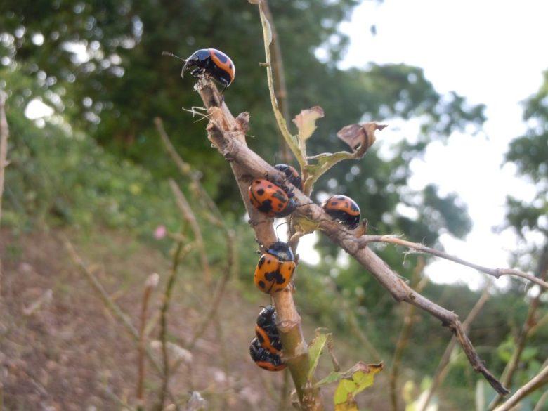 Milkweed beetles have defoliated the Milkweed Patch. But aren't they cute?