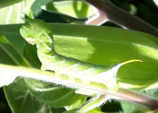 Tobacco Hornworm on Jimsonweed