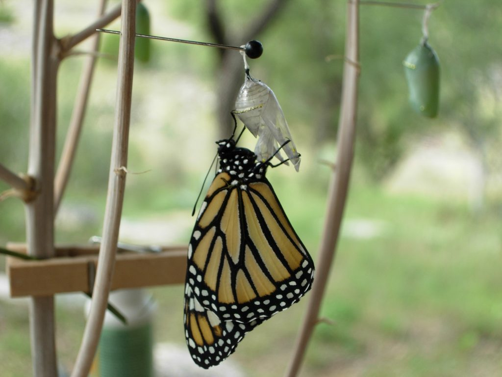 Butterfly Faq  How To Move A Monarch Butterfly Chrysalis