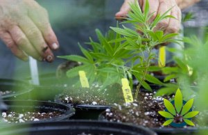Texas Medical Cannabis Company Compassionate Cultivation and Its In-House Breeding Program