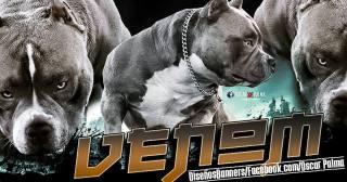 Venom Production Group | Top American Bully Stud | Texas Size Bullies