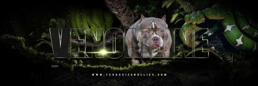 Louis V Line's Venom | American Bully Stud Service | Texas Size Bullies