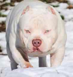 Venomline South   American Bully Kennels & Breeders   Texas Size Bullies