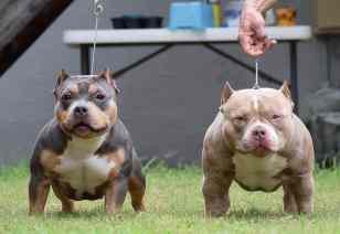 Best Pocket Bully Breeders