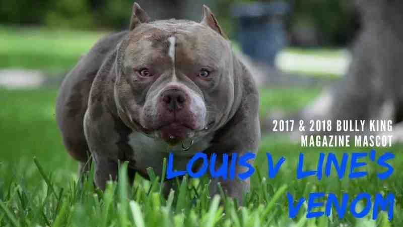 , LOUIS V LINE'S VENOM X SWIZZ | LOUIS V MEETS GRCH CHUMPER PUPPIES ARE HERE!, Venomline | Texas Size Bullies