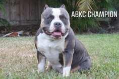 Champion American Bully Kennels in Florida | Venomline