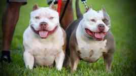 Extreme Pocket Bully, Venomline, American Bully Kennels, Best Pocket Bully Kennels, Pocket Bully Breeders, Pocket Bully Kennels, Top American Bully Breeders, Best Bully Bloodline