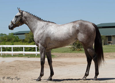 Hip #40, a Texas-bred filly by Too Much Bling, sold for $95,000 to top the sale. (Photo by Mary Cage)