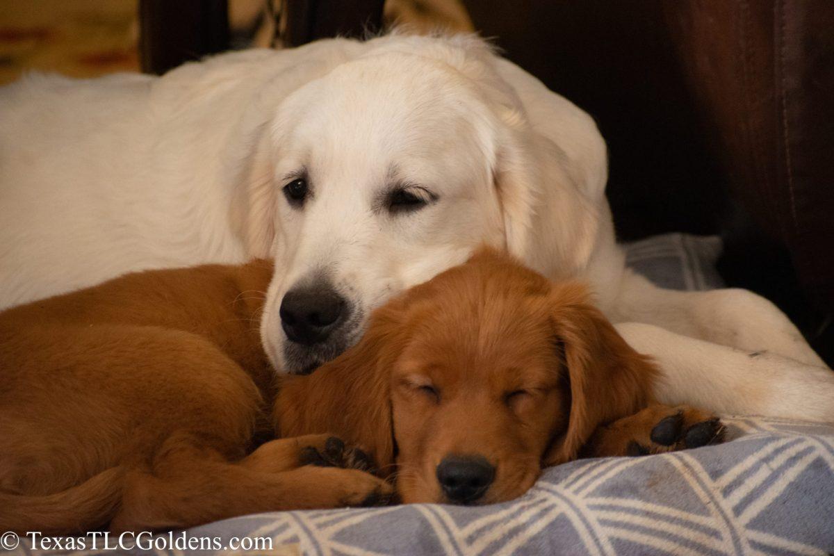 Shipping Golden Retriever Puppies     Texas TLC Goldens