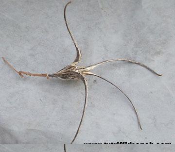 Devil's claw seed pod