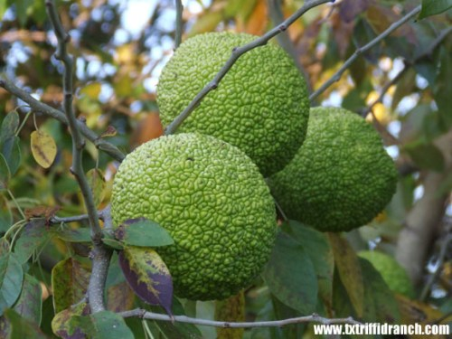 Osage orange bunch