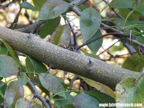 Osage orange thorns