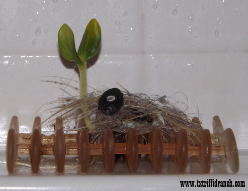Luffa seedling on a soap drain