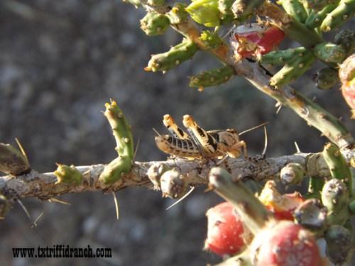 Grasshopper in O. leptocaulis