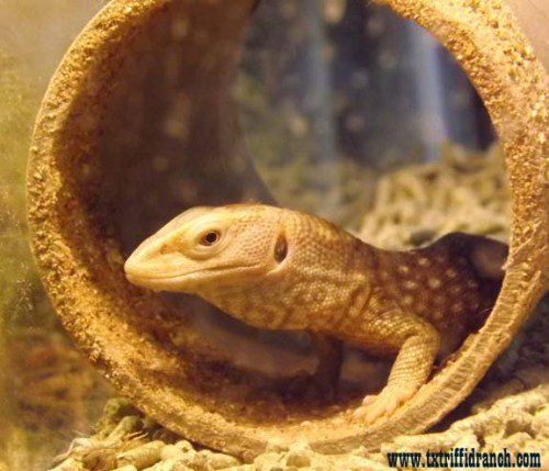 Caramel savannah monitor