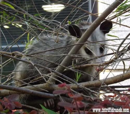 Harold the Opossum
