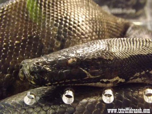 Black python