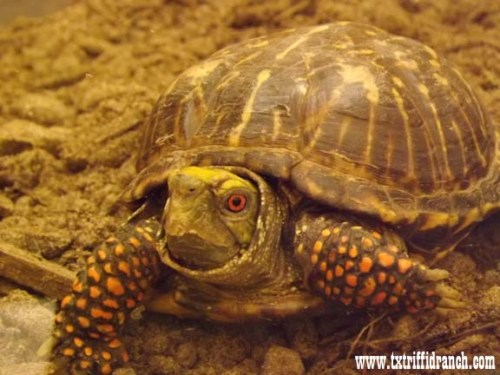 Ornate box turtle